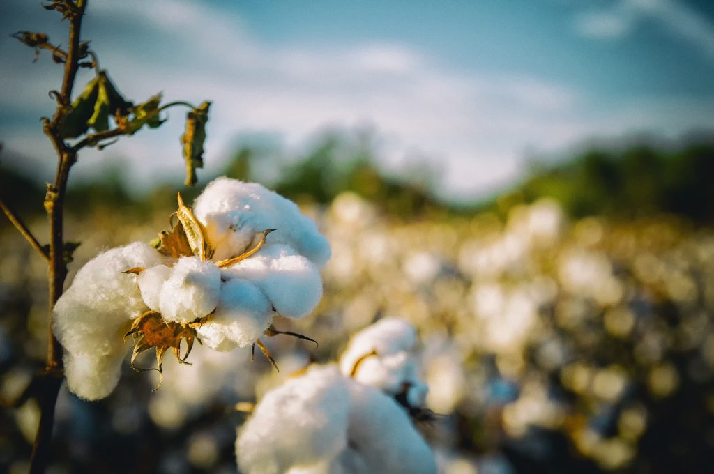 Growing cotton
