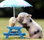 piggy had ice cream.jpg