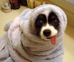dog in towel.jpg