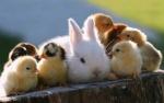bunny with chics.jpg